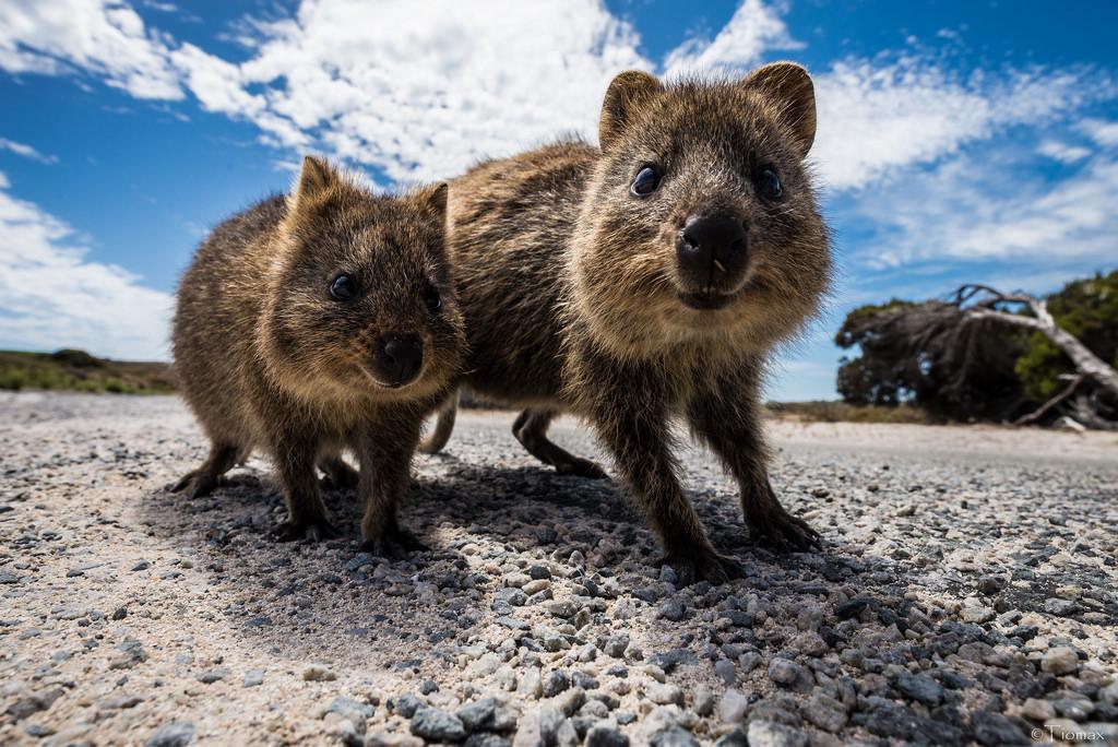 クオッカワラビーのストリートビュー探索【オーストラリア・ロッドネスト島】